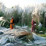 kash-harvest-india -photo of the day national geographic