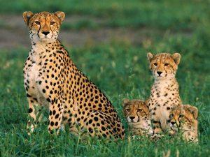 cheetahs_234_600x450
