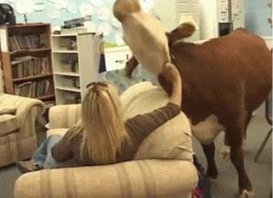 cow gets good scratch